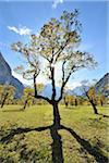 Maple Tree in Autumn, Grosser Ahornboden, Karwendel, Eng, Tyrol, Austria