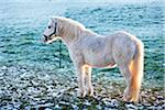 White Pony in Frost Covered Field, Cotswolds, Gloucestershire, England, United Kingdom Stock Photo - Premium Rights-Managed, Artist: Tim Hurst, Code: 700-04424919