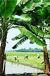 Two guys working in paddy field Stock Photo - Royalty-Free, Artist: Howen                         , Code: 400-04426317