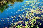 Lily pads on blue water Stock Photo - Royalty-Free, Artist: Elenathewise                  , Code: 400-04438082