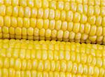 extreme close-up view of corn cobs Stock Photo - Royalty-Free, Artist: AlexStar                      , Code: 400-04444287