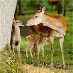 deer with her fawn in the forest Stock Photo - Royalty-Free, Artist: isselee                       , Code: 400-04447692