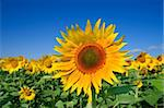 field of yellow sunflowers and blue sky Stock Photo - Royalty-Free, Artist: AlexStar                      , Code: 400-04447877