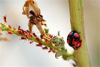 people mating - A scene of ladybirds and the red aphids Stock Photo - Royalty-Freenull, Code: 400-04450550