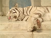 White tiger lying down Stock Photo - Royalty-Freenull, Code: 400-04454445