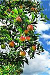 Red ripe apples on apple tree, blue sky background Stock Photo - Royalty-Free, Artist: Elenathewise                  , Code: 400-04458635