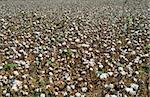 General view of a field full of ripe cotton bolls Stock Photo - Royalty-Free, Artist: Noam                          , Code: 400-04462773