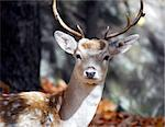 Picture of a beautiful Fallow Deer (Dama dama) in a colorful forest Stock Photo - Royalty-Free, Artist: nialat                        , Code: 400-04471076