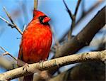 Red cardinal bird, Maryland, USA Stock Photo - Royalty-Free, Artist: izanoza                       , Code: 400-04474831