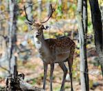 Picture of a beautiful Fallow Deer (Dama dama) in a colorful forest Stock Photo - Royalty-Free, Artist: nialat                        , Code: 400-04475821