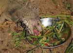 Close-up of the lizard during meal Stock Photo - Royalty-Free, Artist: Friday                        , Code: 400-04476221