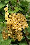 Bunch of white currants on a bush in summer. Stock Photo - Royalty-Free, Artist: marilyna                      , Code: 400-04476358