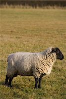 A profile shot of a black faced sheep in an English field Stock Photo - Royalty-Freenull, Code: 400-04481335