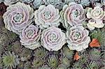Succulents Stock Photo - Royalty-Free, Artist: Nikonite                      , Code: 400-04481563