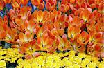 Tulip Flowers in Bloom Stock Photo - Royalty-Free, Artist: Nikonite                      , Code: 400-04483099
