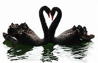Black swans heart. Isolated over white. Valentine series. Stock Photo - Royalty-Freenull, Code: 400-04490293