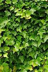 Abstract background of lush green ivy leaves Stock Photo - Royalty-Free, Artist: Elenathewise                  , Code: 400-04490667