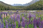 Valley with lupines, Eglinton River Valley in Fiordland National Park, New Zealand Stock Photo - Royalty-Free, Artist: oralleff                      , Code: 400-04491624