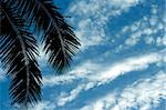 Coconut Palm Frond in the Philippine nice Blue Sky Stock Photo - Royalty-Free, Artist: fiftycents                    , Code: 400-04498174
