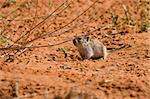Desert pygmy mouse foraging for food in the Kalahari Stock Photo - Royalty-Free, Artist: nightowlza                    , Code: 400-04500197