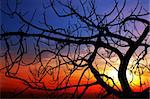 A brenched fig is standing against the sunset. The black brenhces creates an intricated dark pattern Stock Photo - Royalty-Free, Artist: myper                         , Code: 400-04500682