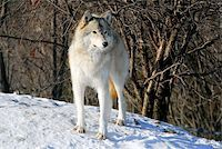 Picture of a Gray Wolf in it's natural Winter habitat Stock Photo - Royalty-Freenull, Code: 400-04503069