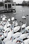 White Swans on the River Thames at Windsor.