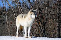 Picture of a Gray Wolf in it's natural Winter habitat Stock Photo - Royalty-Freenull, Code: 400-04504839