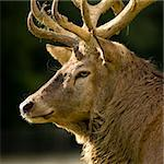 close-up on a deer Stock Photo - Royalty-Free, Artist: isselee                       , Code: 400-04505124