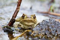 people mating - Frog besides a heep of spawn Stock Photo - Royalty-Freenull, Code: 400-04510057