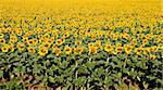 Bright yellow sunflower field. Natural pattern. Stock Photo - Royalty-Free, Artist: ajn                           , Code: 400-04510679