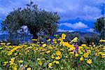 wild flowers in olive grove in the Galilee, Israel Stock Photo - Royalty-Free, Artist: Noam                          , Code: 400-04511017