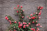 Climbing red roses on a brick wall of a house Stock Photo - Royalty-Free, Artist: Elenathewise                  , Code: 400-04513151
