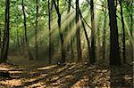 early morning in a misty forest, sunbeams falling through the trees Stock Photo - Royalty-Free, Artist: marcel63                      , Code: 400-04513476