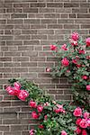 Climbing red roses on a brick wall of a house Stock Photo - Royalty-Free, Artist: Elenathewise                  , Code: 400-04514077
