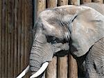 A large elephant Stock Photo - Royalty-Free, Artist: Builttospill                  , Code: 400-04514981