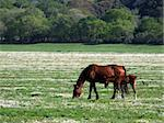 Mother horse and her little horse on a green field Stock Photo - Royalty-Free, Artist: Guilu                         , Code: 400-04524987