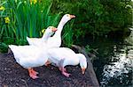 Pure White Geese With orange Beak Looking for Food