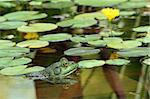 A Green bullfrog in a pond with lillypads Stock Photo - Royalty-Free, Artist: njnightsky                    , Code: 400-04539913