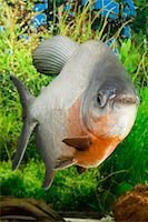 piranha fish - Large Paku fish in the aquarium Stock Photo - Royalty-Freenull, Code: 400-04552055