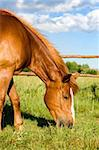 Beautiful horse eating grass Stock Photo - Royalty-Free, Artist: agb                           , Code: 400-04553998