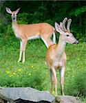 young buck in velvet with a doe in the background Stock Photo - Royalty-Free, Artist: gsagi                         , Code: 400-04554163