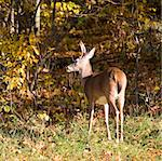 whitetail buck at a forest's edge in autumn Stock Photo - Royalty-Free, Artist: gsagi                         , Code: 400-04555535