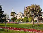Blue Mosque in Istanbul with red tulips and flowering tree in the foreground