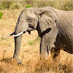 Elephant Stock Photo - Royalty-Free, Artist: isselee                       , Code: 400-04558805