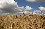 Wheat with a cloudy sky Stock Photo - Royalty-Free, Artist: markabond                     , Code: 400-04560216