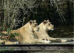 Two lions Stock Photo - Royalty-Free, Artist: markabond                     , Code: 400-04560298