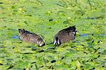 Pair of hungry Blue-winged Teal (anas discors) eating in the Florida Everglades Stock Photo - Royalty-Free, Artist: stevebyland                   , Code: 400-04567937