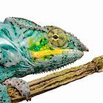 Chameleon Furcifer Pardalis - Nosy Faly (18 months) in front of a white background Stock Photo - Royalty-Free, Artist: isselee                       , Code: 400-04571949
