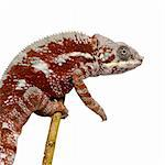 Chameleon Furcifer Pardalis - Masoala (4 years) in front of a white background Stock Photo - Royalty-Free, Artist: isselee                       , Code: 400-04571952